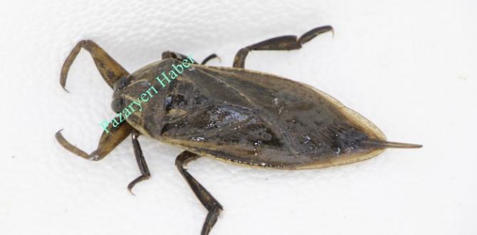 Pazaryeri'nde Dev Su Böceği Yakalandı