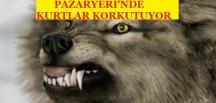 PAZARYERİ'NDE KURTLAR KORKUTUYOR(Canlı İzle)