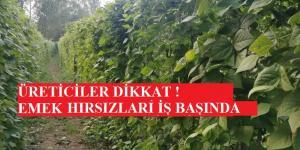 ÜRETİCİLER DİKKAT ! ARSIZ HIRSIZLAR FASULYE TARLALARINA DADANDI